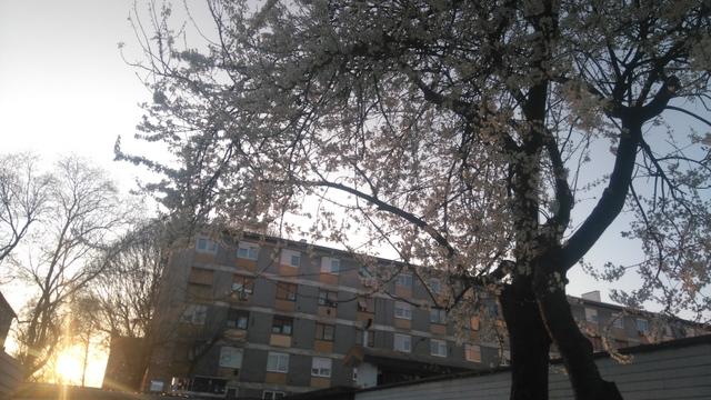 桜に似た花をつける木。このような木をザグレブの至る所で見かけます