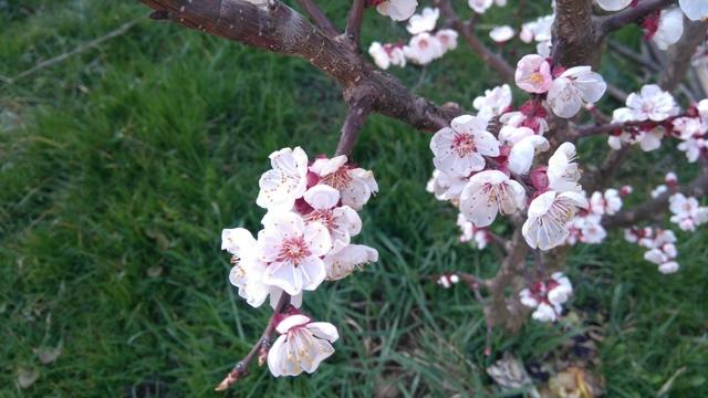 庭の杏の花も咲きました♪