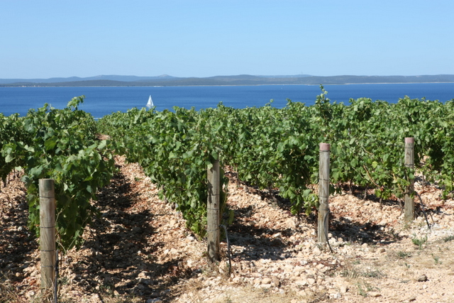 (C) Kraljevski vinograd