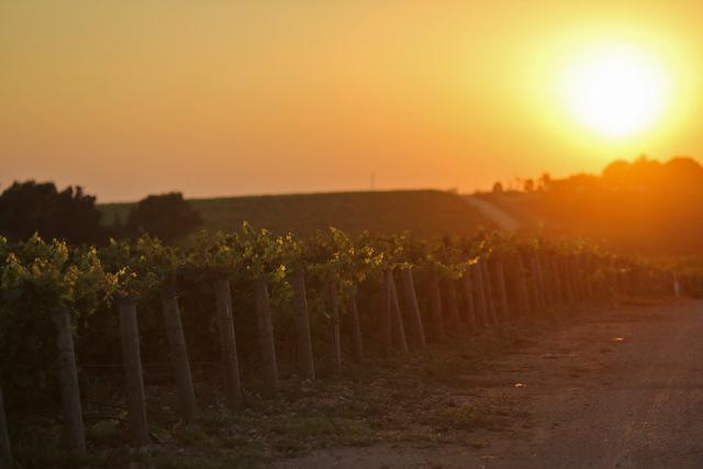 夕日に染まるぶどう畑