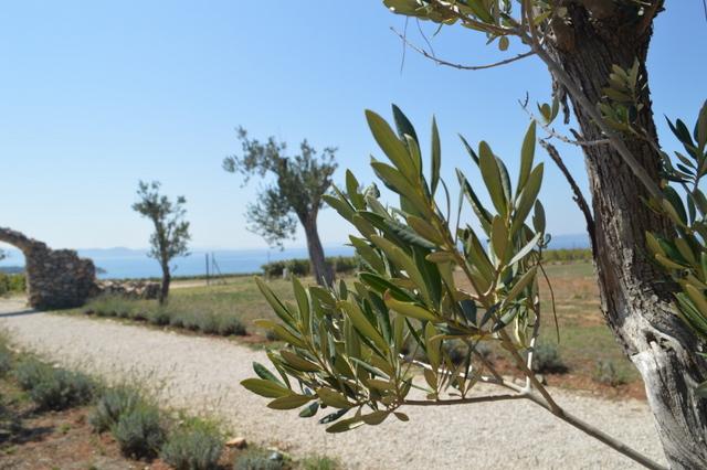 ロイヤルワインロードの敷地内には樹齢100年以上のオリーブの木が